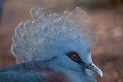 Westernu Goura koronowany gołębi cristata zdjęcie royalty free