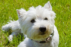 Westhighland Terrier. Close up of a white Westhighland Terrier Stock Image