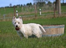 Westhighlandterrier is standing in the garden royalty free stock images
