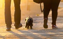 Westhochland Brown Terrier geht zwischen Paare stockbilder