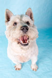 Westhochland Terrier Stockfotos