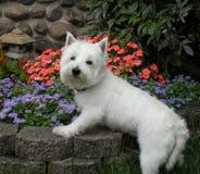 Westhochland Terrier Stockbild
