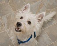 Westhochland-Terrier-Hund, der eine Festlichkeit vorwegnimmt lizenzfreie stockfotos