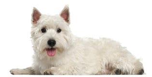 Westhochland-weißer Terrier, 10 Monate alte Stockbilder