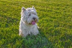 Westhochland-weißer Terrier stockbild