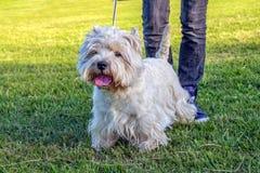 Westhochland-weißer Terrier stockfoto