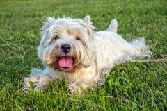 Westhochland-weißer Terrier stockfotografie