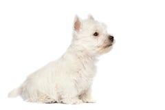 Westhochland-weißer Terrier-Welpe Stockbild