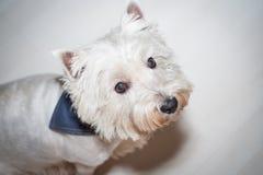 Westhochland weißes Terrier Stockbild