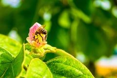 Westhonigbiene API mellifera innerhalb einer rosa Quittenblume, mit seinem hinteren Stich Nektar aufwärts defensiv sammelnd stockbild