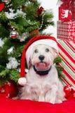 Westie στο καπέλο Χριστουγέννων στοκ εικόνα με δικαίωμα ελεύθερης χρήσης
