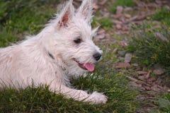 Westie отдыхая на траве Стоковые Фото