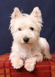 Westie. Young West Highland Terrier Pup Stock Photo