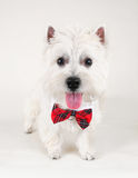 Westie Fotos de Stock Royalty Free