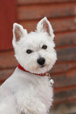 Westie Royalty Free Stock Photo
