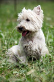 Westie. Cute West Highland White Terrier sitting on the grass Royalty Free Stock Images