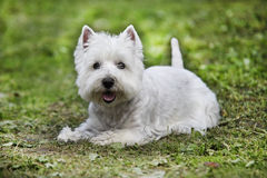 Westie. West Highland White Terrier lying on the grass - outdoor scene Stock Photography
