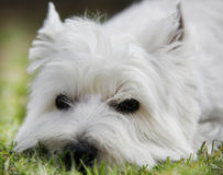 Westie. West Highland White Terrier lying on the grass - outdoor scene Royalty Free Stock Images