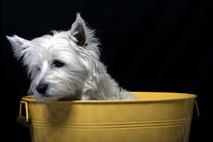 Westie Royalty Free Stock Photography