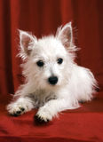 Westie Photographie stock