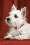 Westie Royalty Free Stock Image
