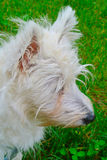 Westie Photos stock