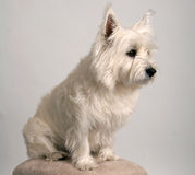 Westie. Portrait of a White West Highland Terrier Royalty Free Stock Photo