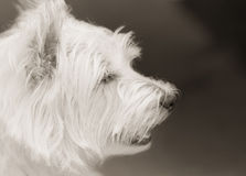 Westie Royalty Free Stock Photos