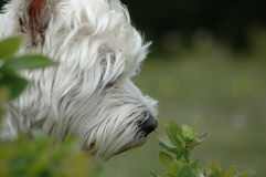 Westie in aard Stock Foto's