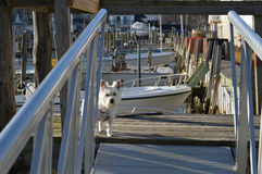 Westie auf Boots-Dock Stockbild