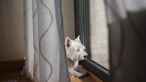 Westie basking in the sun stock video