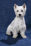 Westie on blue background Royalty Free Stock Images