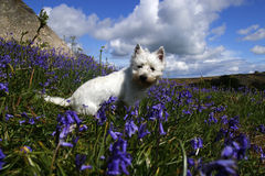 Westie in bluebells Royalty Free Stock Image