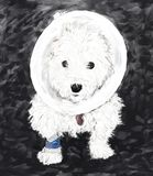 Westie in a cone Royalty Free Stock Photography