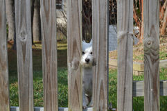 Westie, das durch Zaun schaut Stockbild