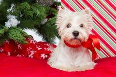 Westie debajo del árbol del Año Nuevo Foto de archivo libre de regalías