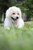 Westie dog stock image