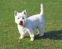 Westie dog and dandelion flower Stock Photography