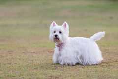 Westie dog with green background Royalty Free Stock Image