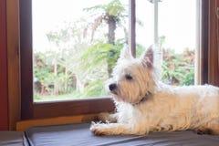 Westie dog: west highland white terrier on window seat guarding. Garden back yard outside royalty free stock image