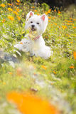 Westie dog with yellow flower background Royalty Free Stock Photography