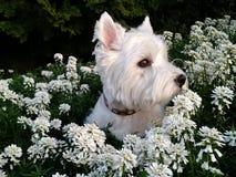 Westie en fleurs Photographie stock libre de droits