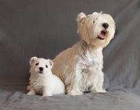 Westie family Stock Image