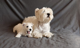 Westie family Royalty Free Stock Images