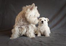 Westie family Royalty Free Stock Photo