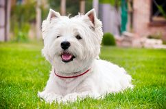 Westie on the green grass Royalty Free Stock Photography