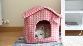 Westie in her house stock footage