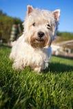 Westie hund på det gröna gräset Arkivfoton