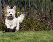 Westie-Hundebetrieb, Westhochländer-Weiß Terrier Stockbild