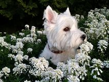 Westie i blommorna Royaltyfri Fotografi